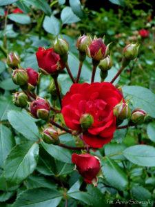 róże2